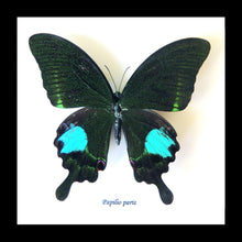 Load image into Gallery viewer, Papilio Paris - ( The Paris Peacock )