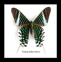 Load image into Gallery viewer, Urania Leilus - (The Green-Banded Urania)