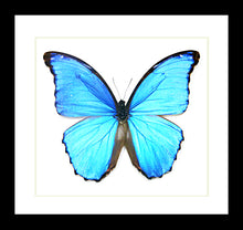 Load image into Gallery viewer, Morpho Amathonte - (Blue Morpho )