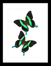 Load image into Gallery viewer, Papilio blumei - (Peacock swallowtail) x2