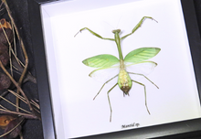 Load image into Gallery viewer, Mantid sp Green. - ( Preying Mantis )