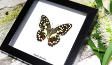 Load image into Gallery viewer, Papilio demodocus - ( Chequered Swallowtail )