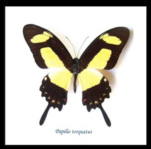 Load image into Gallery viewer, Papilio torquatus - (The Torquatus Swallowtail )