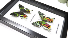 Load image into Gallery viewer, Chrysiridia Riphearia (Madagascan Sunset Moth) Viso Verso