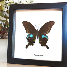 Load image into Gallery viewer, Papilio Arcturus - (The Blue Peacock)