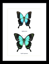Load image into Gallery viewer, Papilio pericles and Papilio lorquinianus Pair