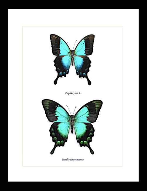 Papilio pericles and Papilio lorquinianus Pair