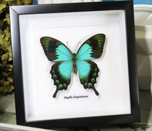 Load image into Gallery viewer, Papilio lorquinianus - (Sea Green Swallowtail)