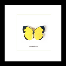Load image into Gallery viewer, Eurema hecabe - (Common Grass Yellow)