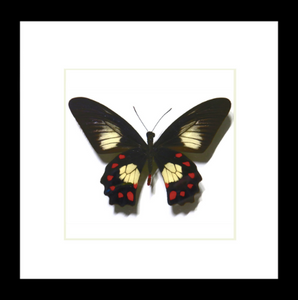 Pachliopta strandi - (Red Bodied swallowtail)