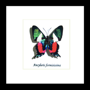 Ancyluris formosissima (Italian Flag Butterfly)