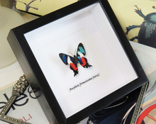Load image into Gallery viewer, Ancyluris formosissima (Italian Flag Butterfly)