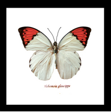 Load image into Gallery viewer, Hebomoia glaucippe - (The Great Orange Tip)