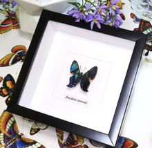 Load image into Gallery viewer, Ancyluris miranda -( Metalmark Butterfly )