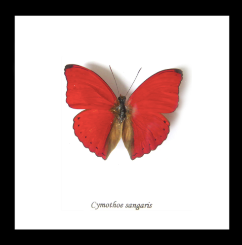 Cymothoe crocea - ( Blood Red Glider )