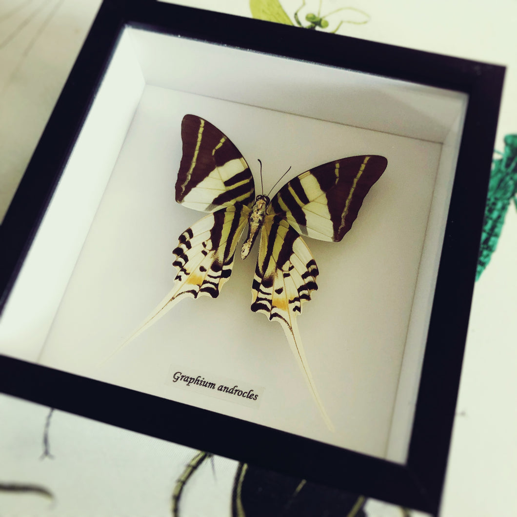 Graphium androcles - (The Giant Swordtail)