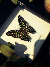 Load image into Gallery viewer, [Framed Butterflies] - Naturalis Historia