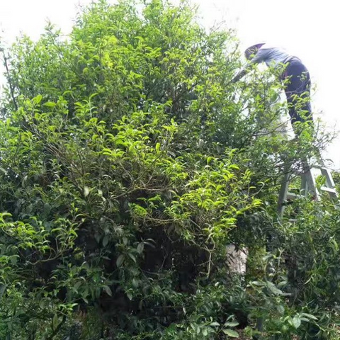 harvesting leaves from an ancient tea tree