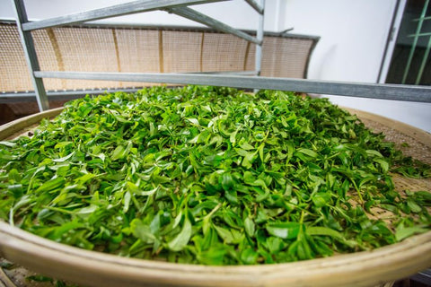 Withering / wilting tea leaves