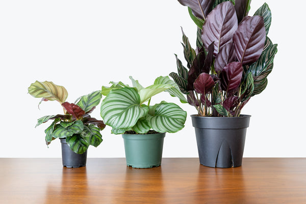 How to take care of your Calathea - House Plants Delivery Toronto - JOMO Studio