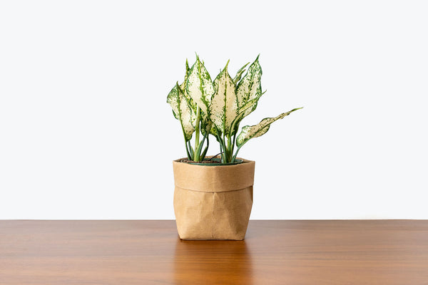 How to take care of your Chinese Evergreen(Aglaonema) - JOMO Studio