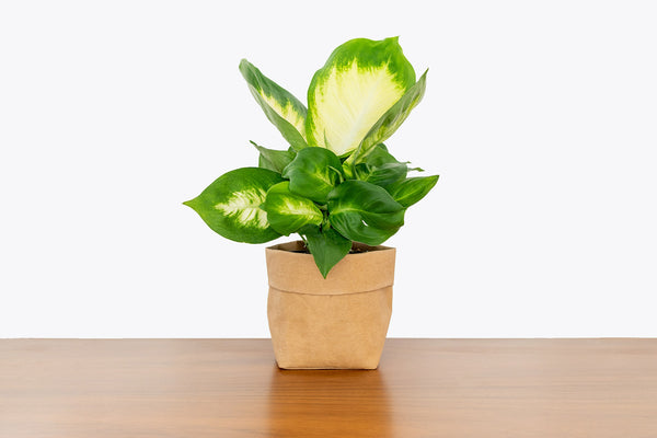 How to Take Care of Your Dieffenbachia - Plant Delivery - JOMO Studio