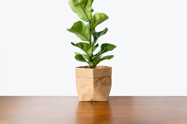 How to take care of your Fiddle Leaf Fig - House Plants Delivery Toronto - JOMO Studio