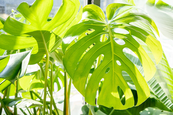 How to take care of your Monstera Deliciosa - House Plants Delivery Toronto - JOMO Studio
