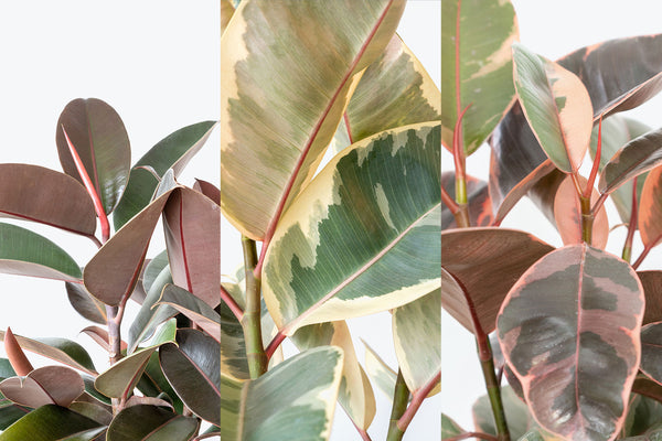 How to take care of your Rubber Plant - Ficus Elastica - JOMO Studio