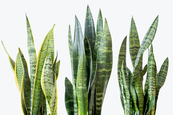 How to Take Care of Your Snake Plant - Plant Delivery - JOMO Studio