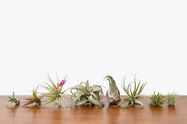 How to Take Care of Your Air Plant - Plant Delivery - JOMO Studio