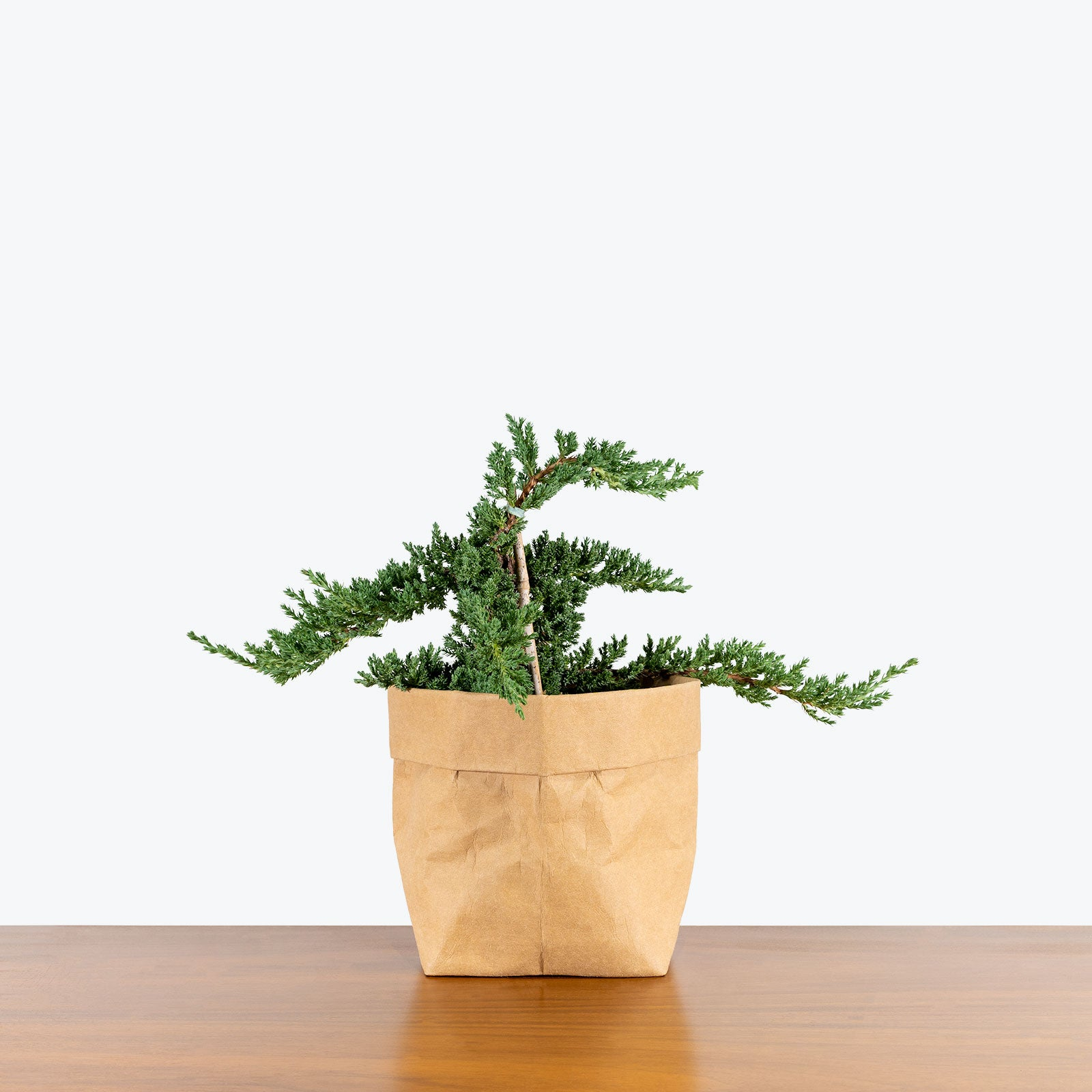 How to Take Care of Your Juniper Bonsai | Plant Care and Tips - JOMO Studio