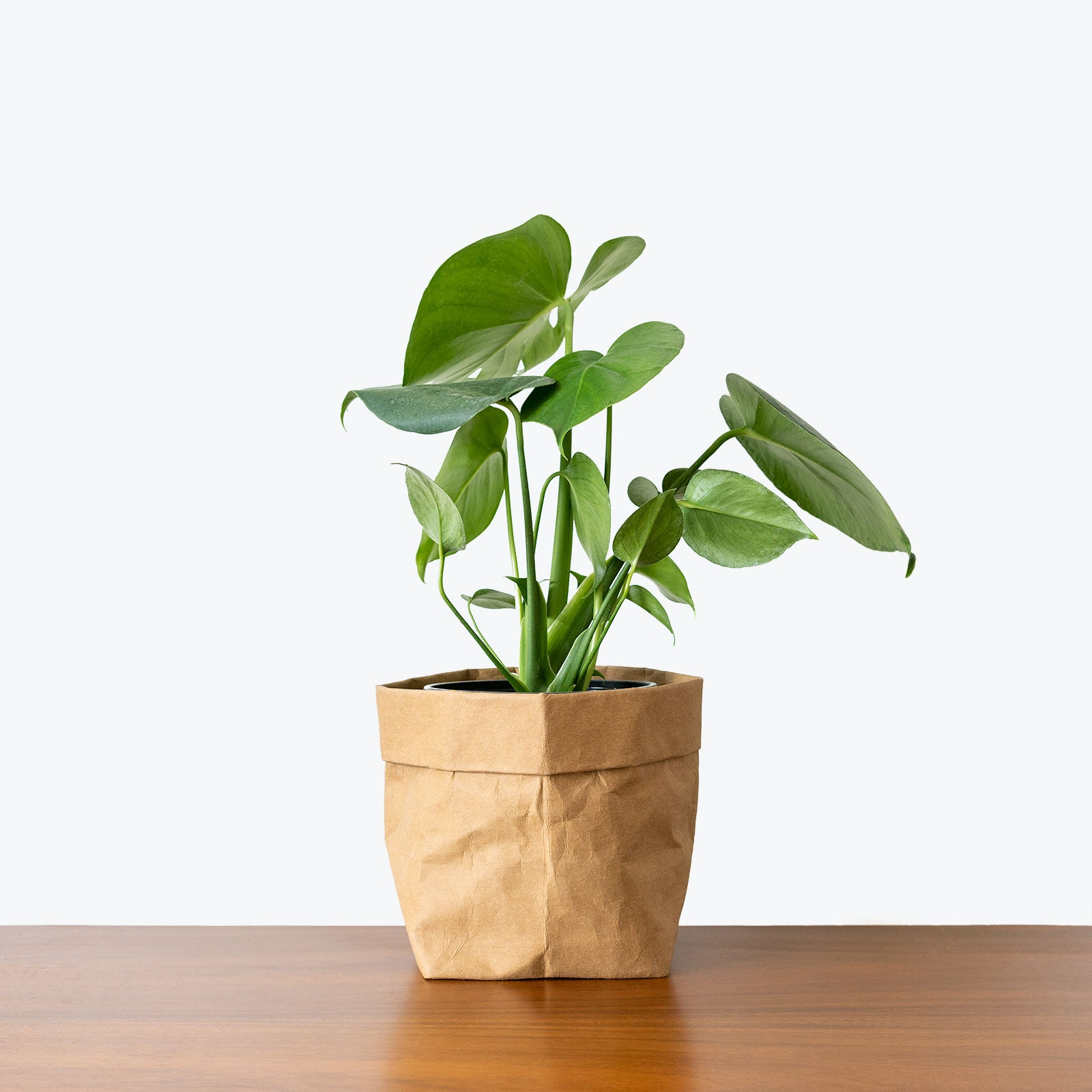 Example of Monstera variety Philodendron: Monstera Deliciosa