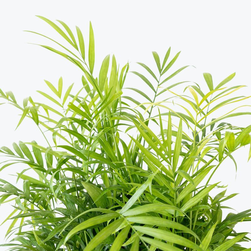 Parlor Palm - Top 10 Best Indoor House Plants for Your Home - House Plants Delivery Toronto - JOMO Studio