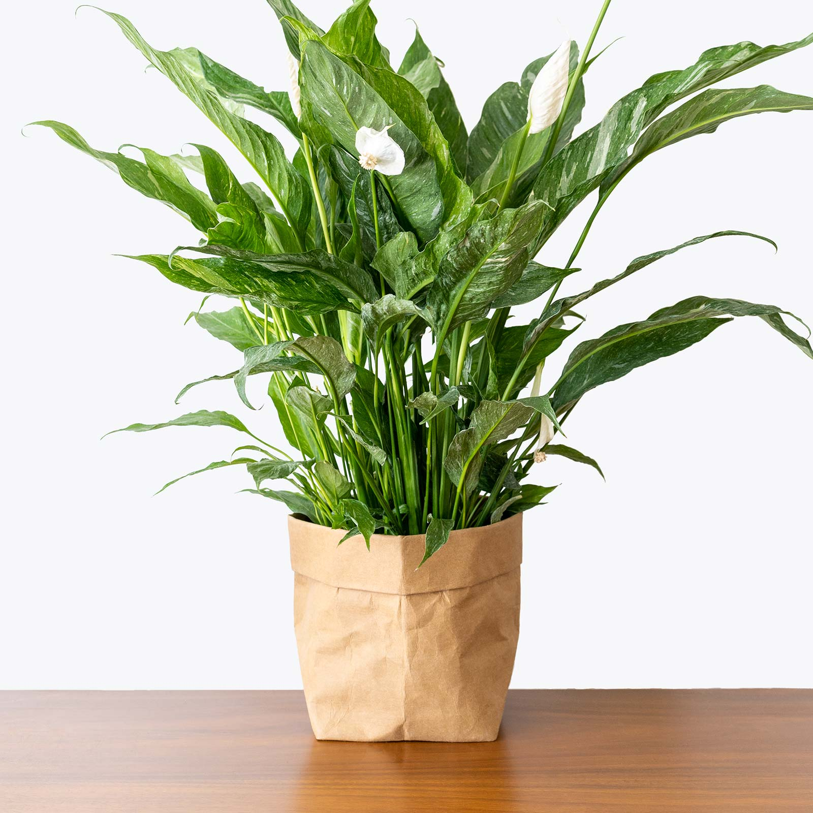 Peace Lily Domino