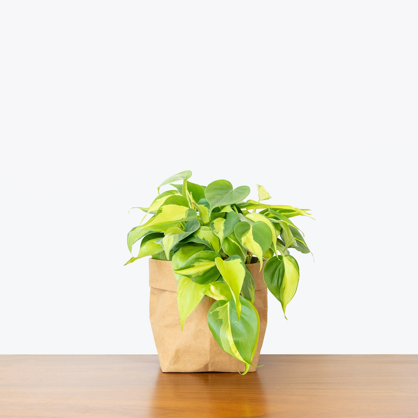 Example of trailing Philodendron: Philodendron Hederaceum Brasil
