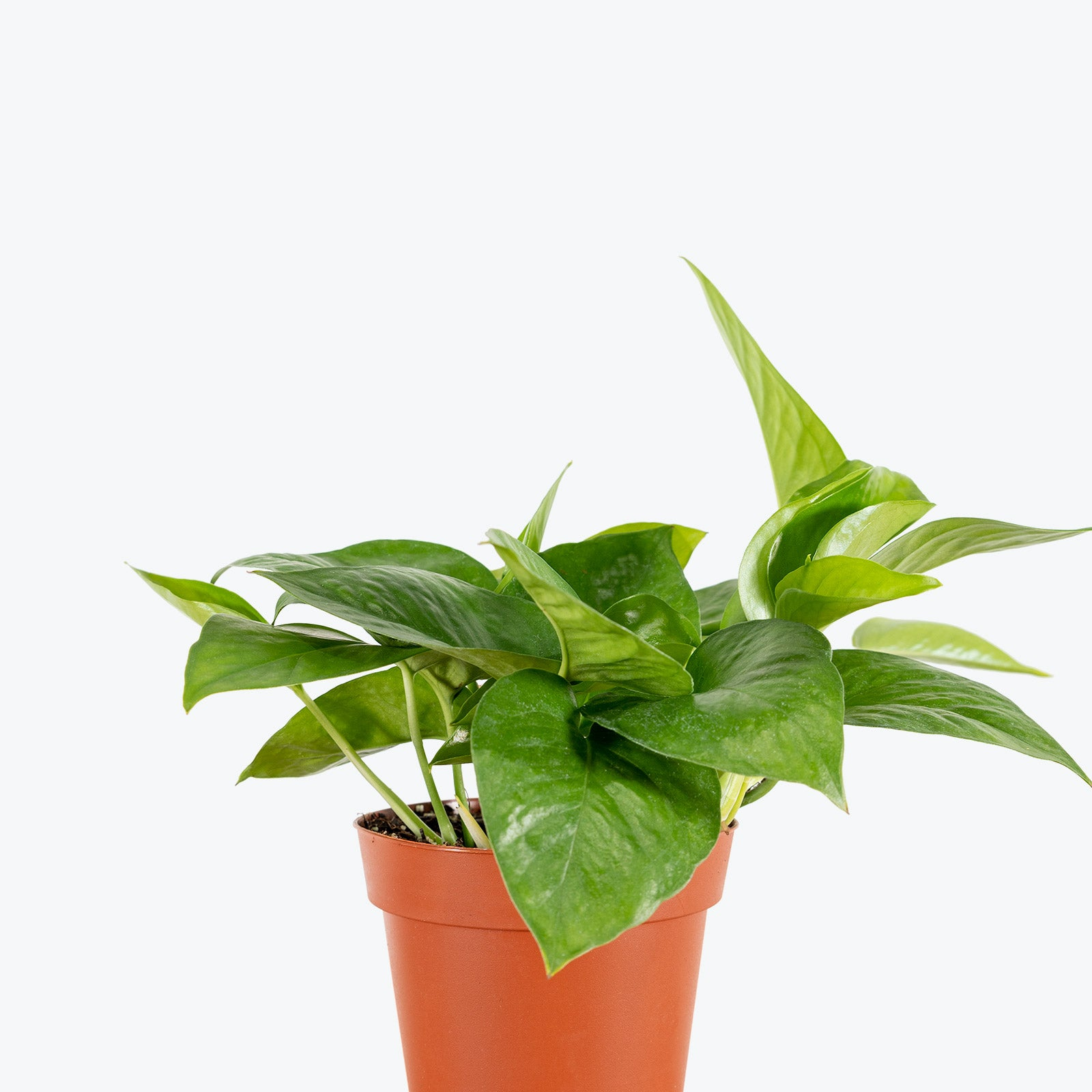 How to Take Care of Your Pothos Jade - House Plant Delivery - JOMO Studio