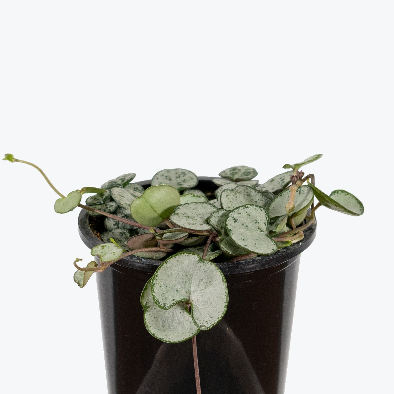 Ceropegia woodii 'Silver Glory' (String of Hearts Silver Glory)