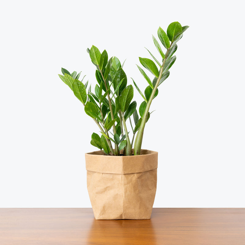 ZZ Plant - Top 10 Best Indoor House Plants for Your Home - House Plants Delivery Toronto - JOMO Studio