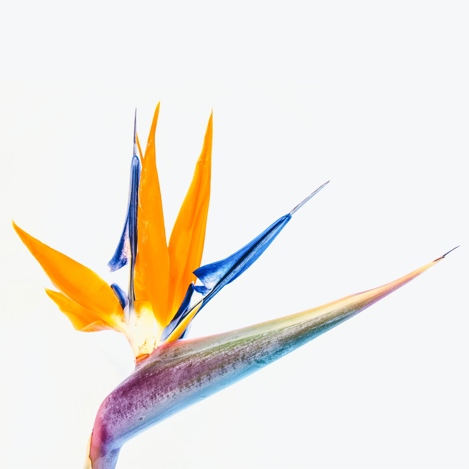 How to Take Care of Your Bird of Paradise - Plant Delivery - JOMO