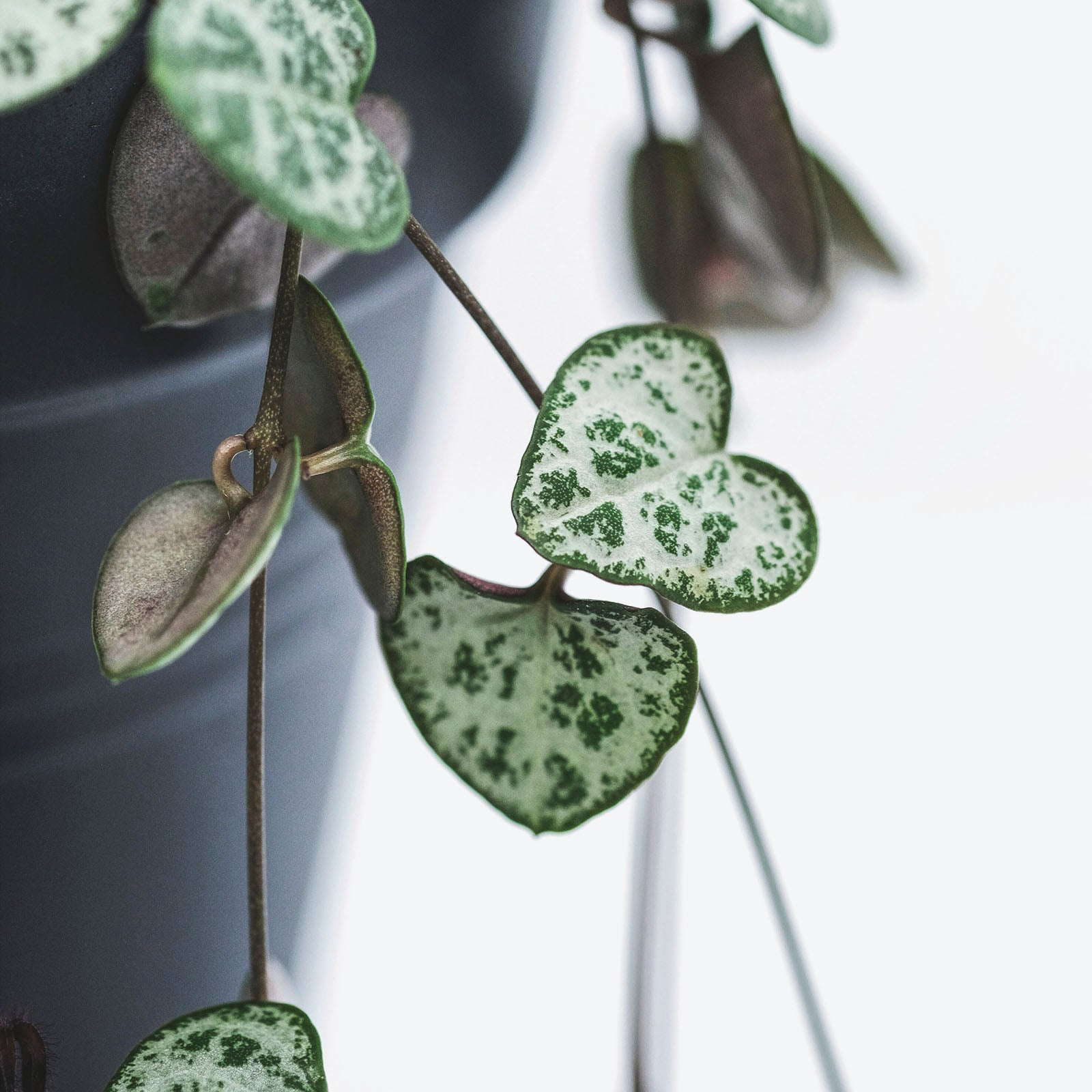 Ceropegia woodii (String of Hearts)