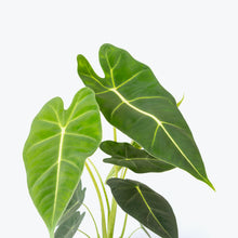 Load image into Gallery viewer, Alocasia Frydek - House Plants Delivery Toronto - JOMO Studio