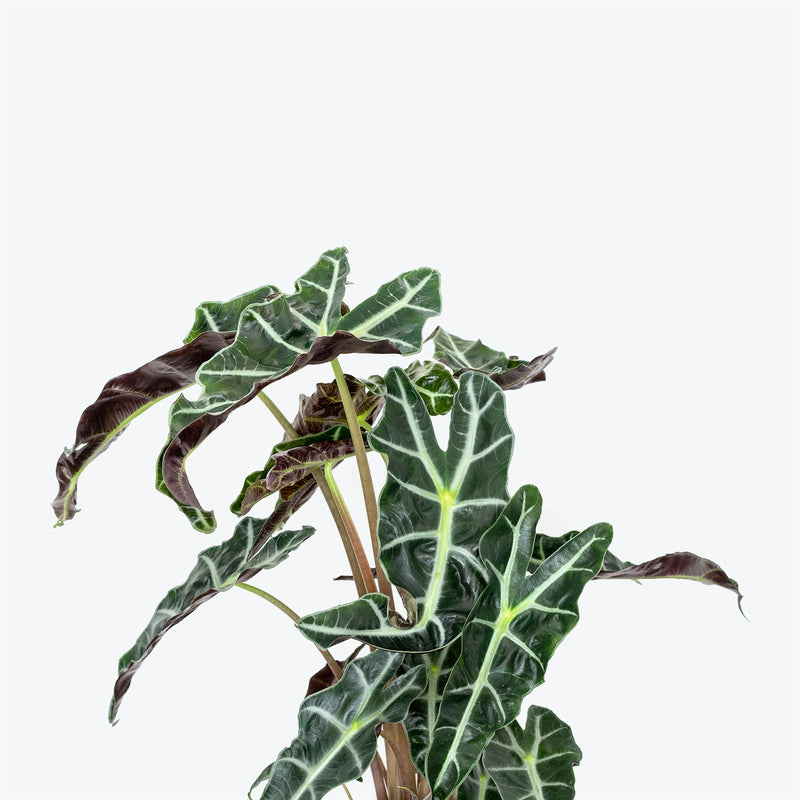 Alocasia Polly - House Plants Delivery Toronto - JOMO Studio