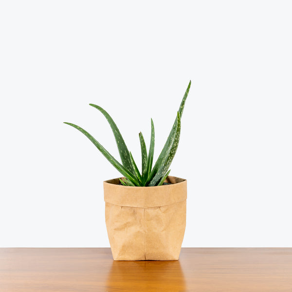 Aloe Vera - House Plants Delivery Toronto - JOMO Studio