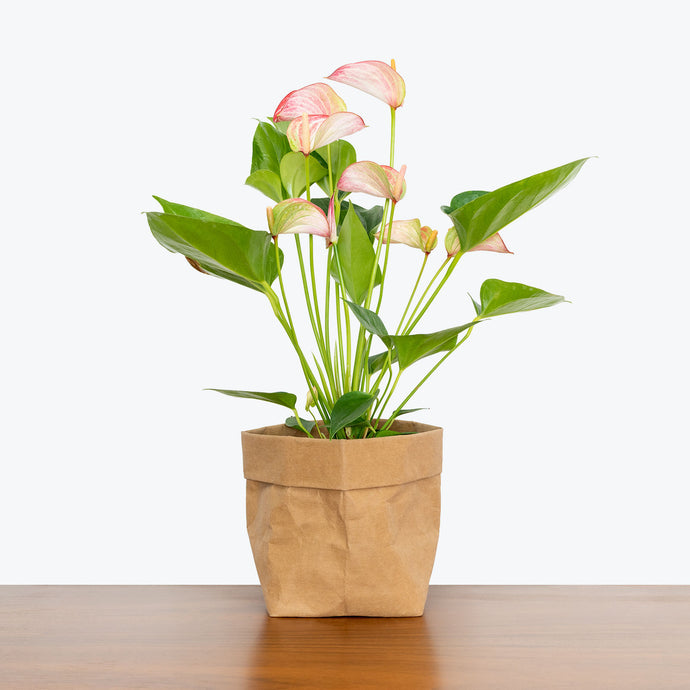 Anthurium Pink - House Plants Delivery Toronto - JOMO Studio