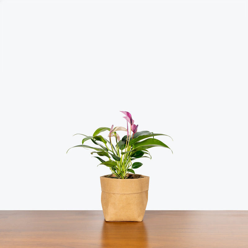Anthurium Purple - House Plants Delivery Toronto - JOMO Studio