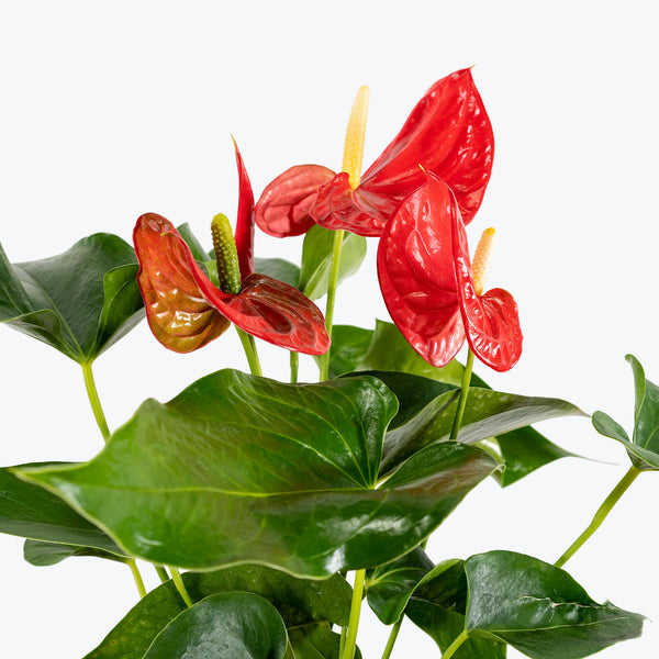 Anthurium Red - House Plants Delivery Toronto - JOMO Studio