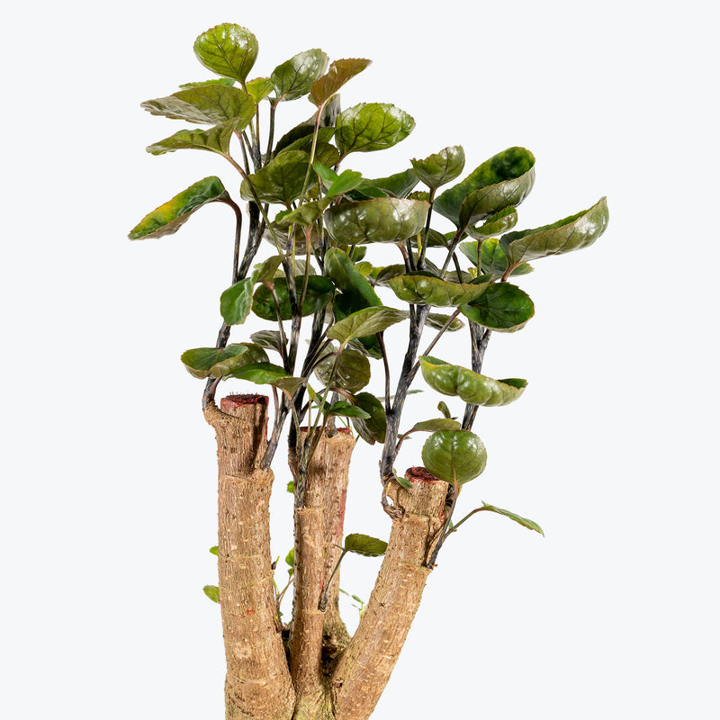 Aralia Fabian Stump - House Plants Delivery Toronto - JOMO Studio