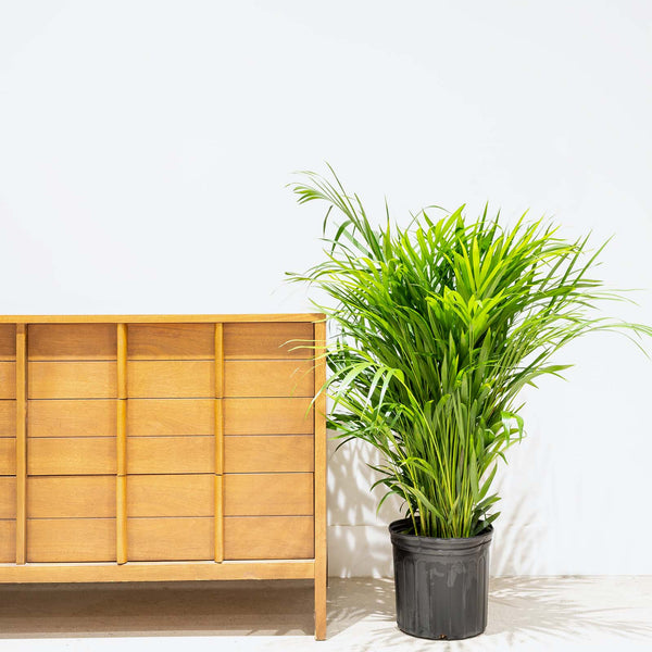 Areca Palm - Dypsis Lutescens - House Plants Delivery Toronto - JOMO Studio