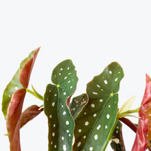 Load image into Gallery viewer, Begonia Maculata - House Plants Delivery Toronto - JOMO Studio